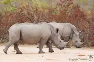 Rhino_1D__6720