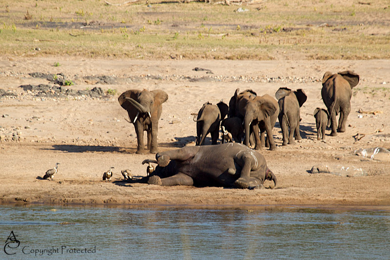 ElephantCarcass10_D__8520