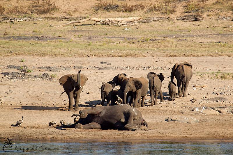 ElephantCarcass11_D__8523