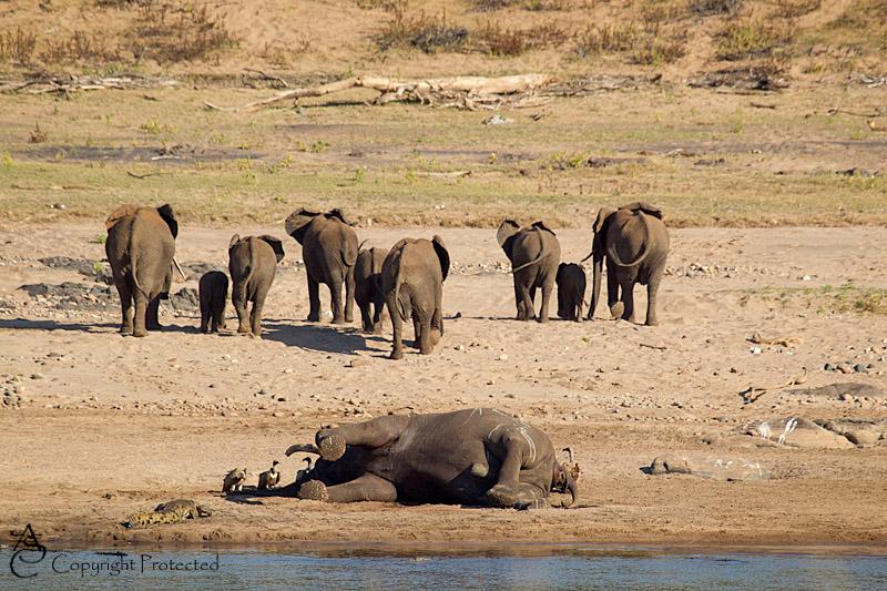 ElephantCarcass12_D__8531
