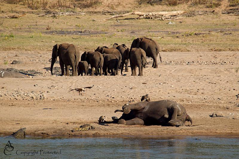 ElephantCarcass13_D__8539