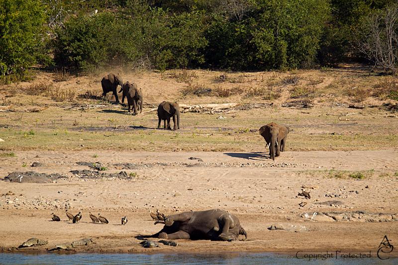 ElephantCarcass1_D__8469