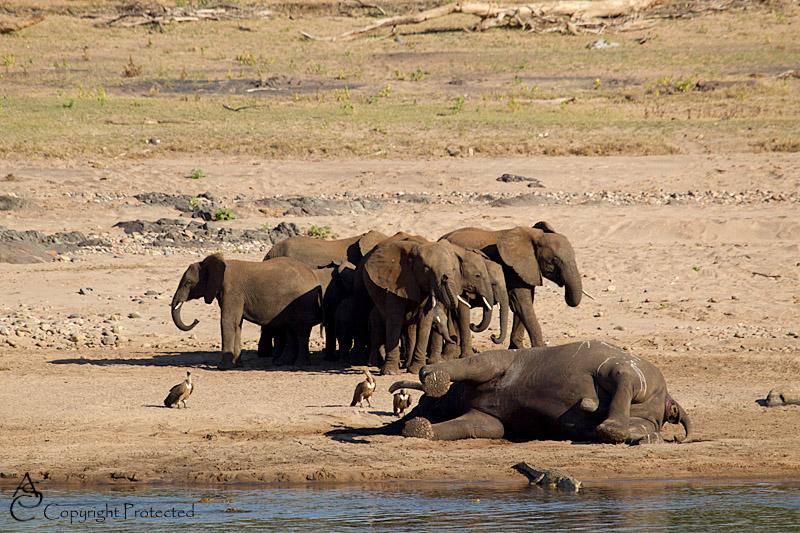 ElephantCarcass9_D__8513