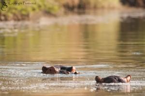Hippos_MG_6459