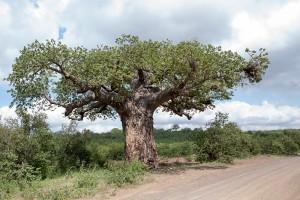 Baobab_IMG_8263