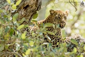 Leopard_FE5A2647