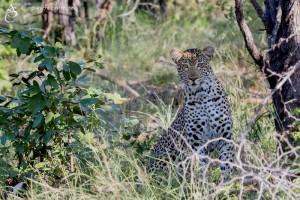Leopard_1D_2292