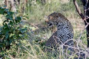 Leopard_1D_2301