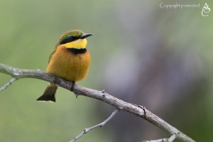 BeeEater_FE5A0700