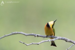 BeeEater_FE5A0750