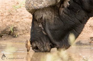 Buffalo_Oxpecker_FE5A1300