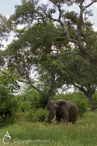 Elephant_1D_2598