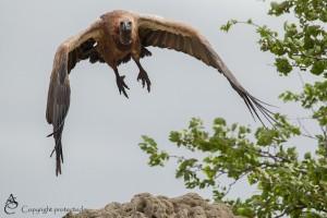 Vulture_1D_3312