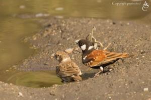 SparrowLark_1D_4048
